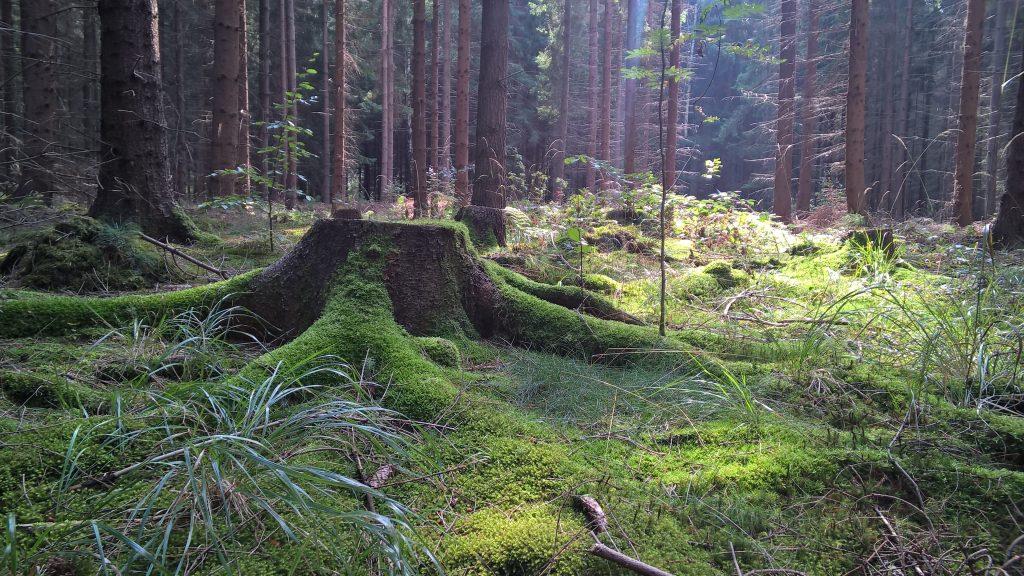 Bild zum Waldbaden in Dresden